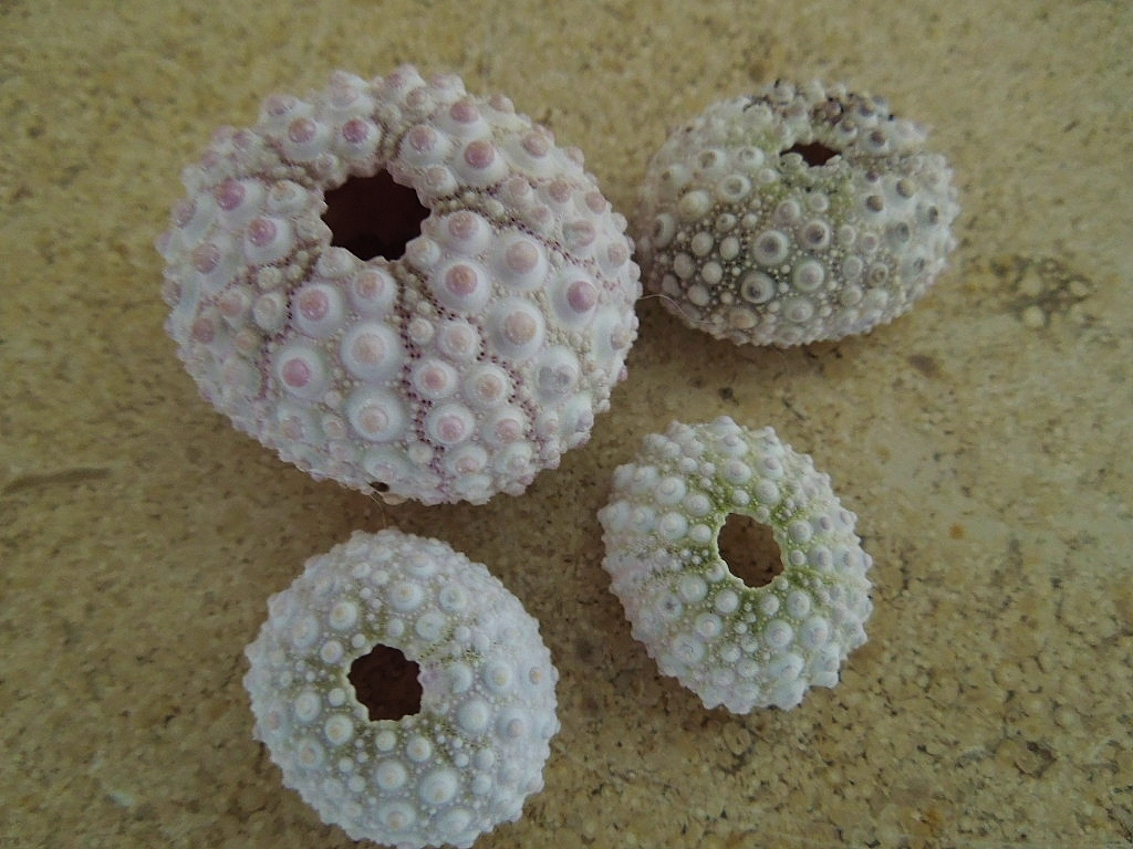 Display of urchin shells from Hawaii