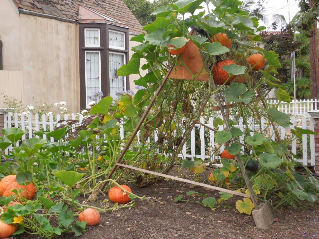 Cool Trellis Ideas Part - 50: Growing Pumpkins In California