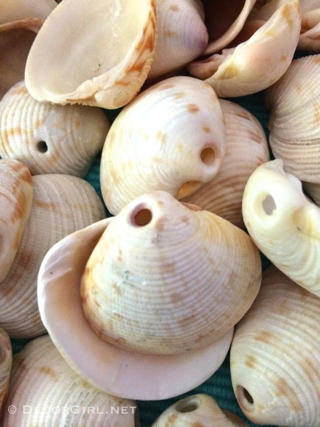 Lady-In-Waiting Venus seashells