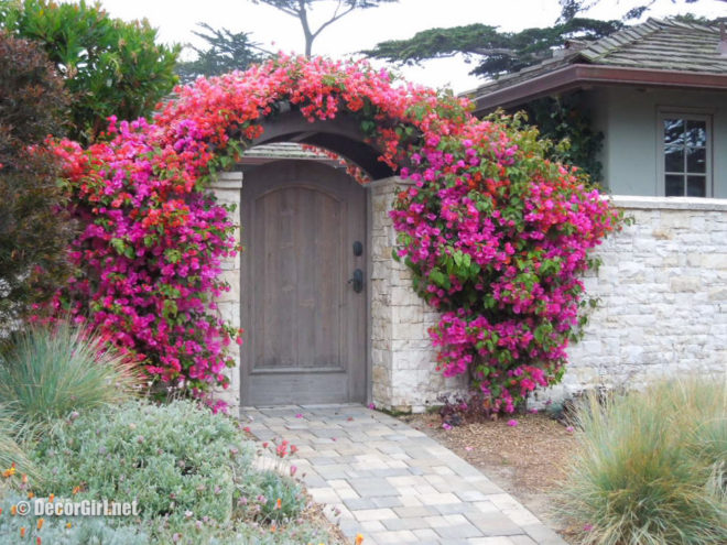 Bougainvillea surrounding entrance gate